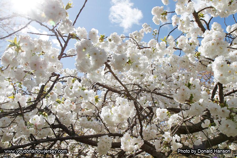 Cherry-Blossom-Festival-SFW