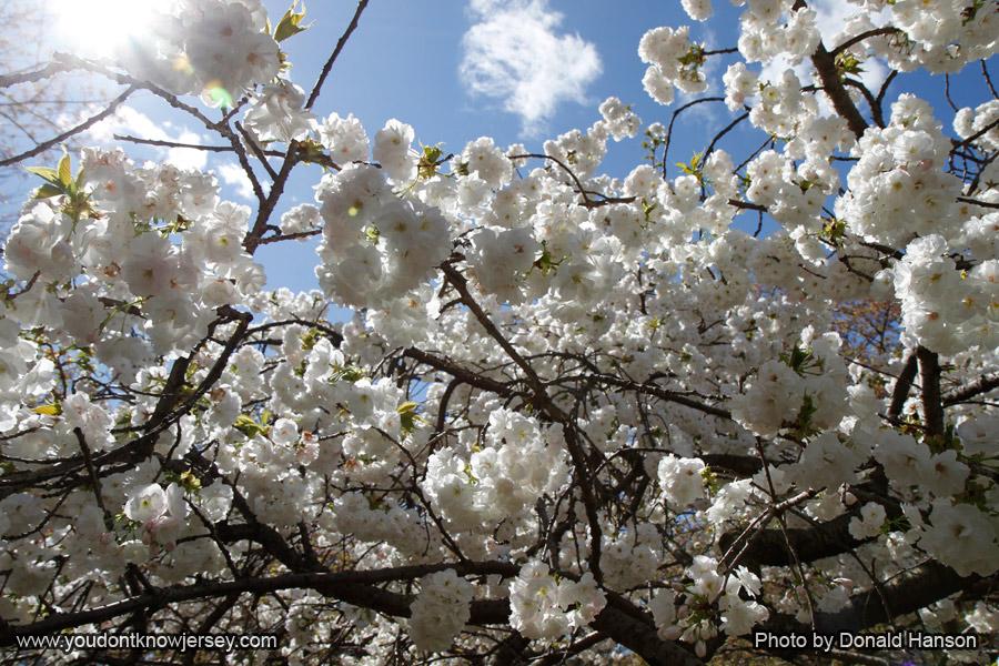 Cherry_Blossom_Festival_1833_SFW