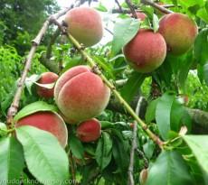 Peaches-11