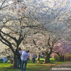 Cherry Blossoms Are in Bloom at Essex County's Branch Brook Park