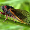 Are You Ready for Cicadas???