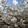 Upcoming Event – Essex County Cherry Blossom Festival – Branch Brook Park – Newark – April 5-13 2014